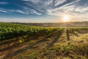vineyard, sunrise, sun